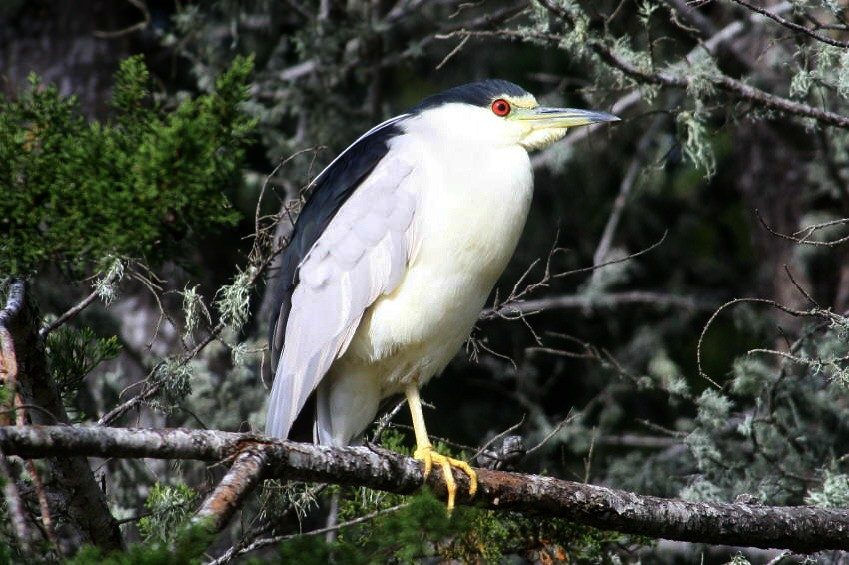 Black-Crowned Night Heron Feeling secure amid the foliage
