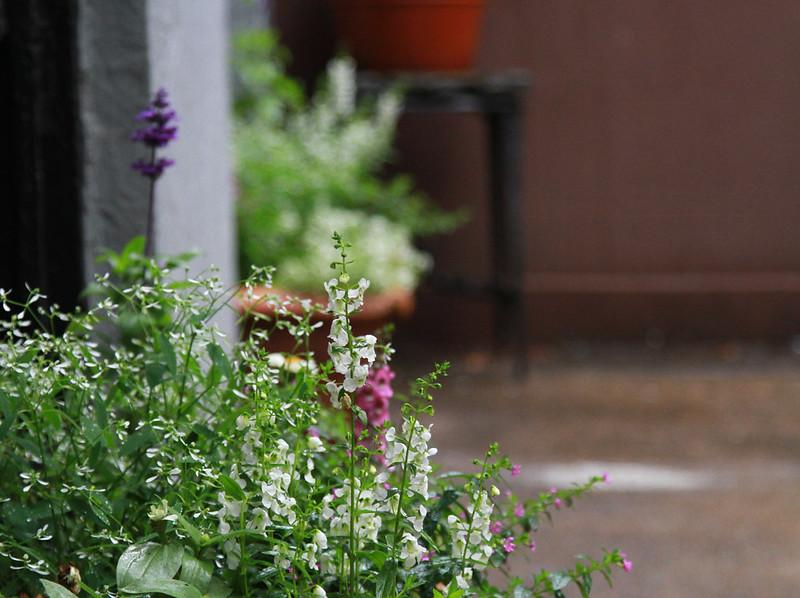 euphorbia, angelonia, salvia, zinnia, mexican heather