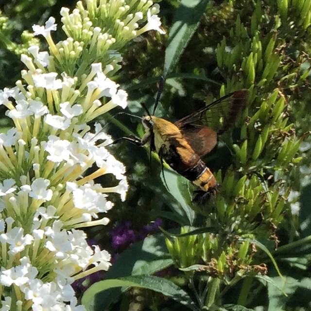 Hemaris diffinis, snowberry clearwing, hummingbird moth, flying lobster