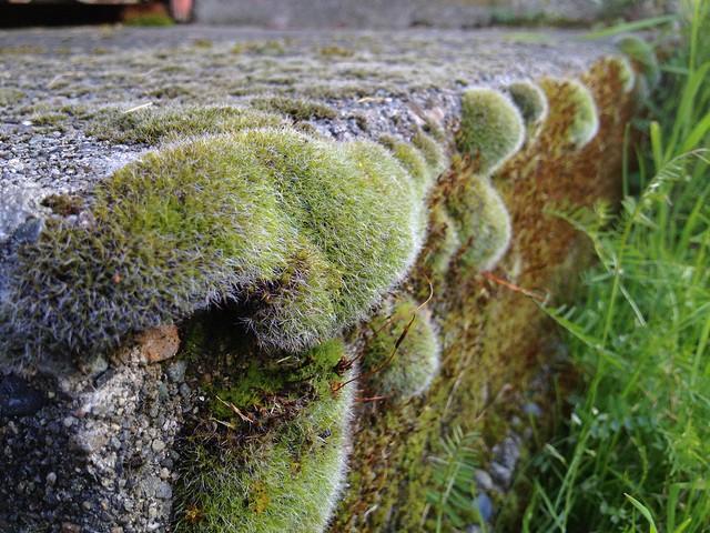 Moss clumps