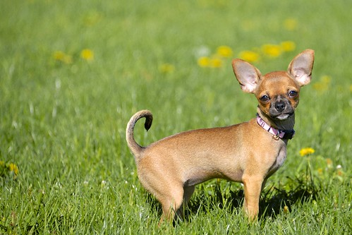 asiatische Chihuahua