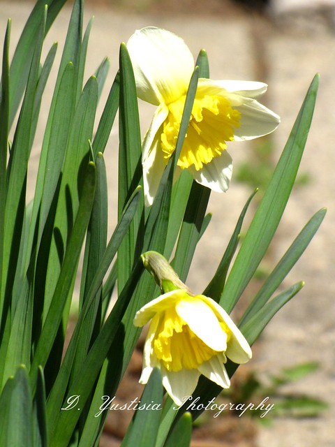 Yellow Daffodils - Narcisscus
