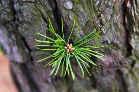 Pinetree Bud