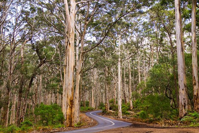 Boranup forest, southwest Australia