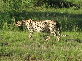 Male Cheetah With Full Stomach!