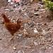 Ghodbunder Fort - Hens and Chicks
