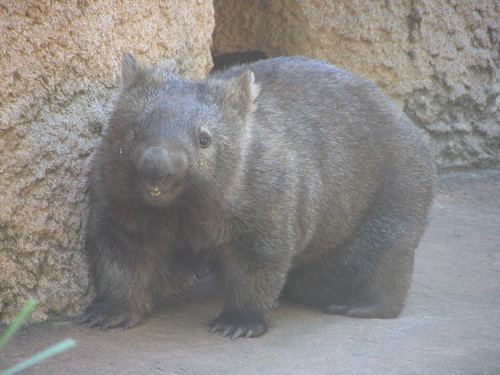 one eyed wombat