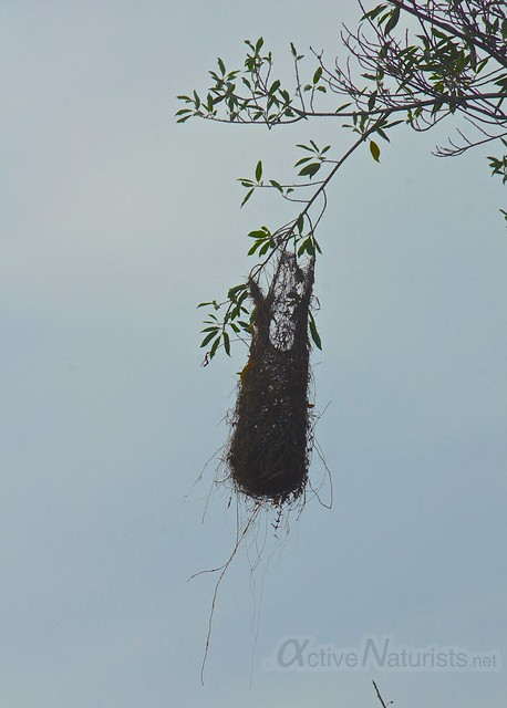 hanging nest 0000 on the way to Pet Cemetery cenote, Quintana Roo, Mexico