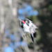 Acorn Woodpecker in flight Douglas Preserve