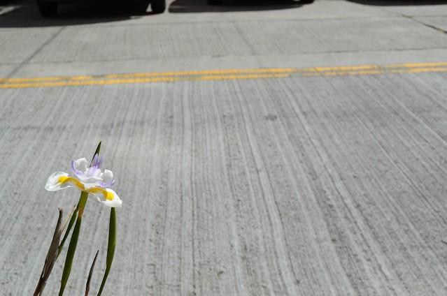 Iris + Pavement