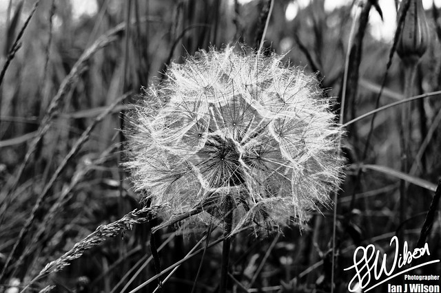 Dandelion Time – Daily Photo (7th July 2012)