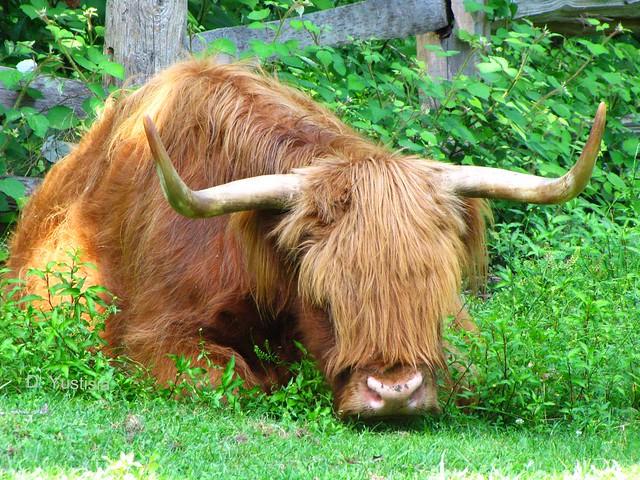 A Beautiful Longhorn Cow