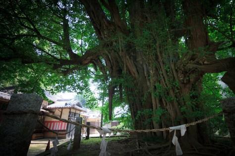 #73 The Giant Ginkgo of Nogi Shrine