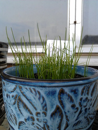 Chives are growing like crazy