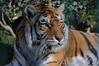 Bengaltiger Rani im Zoo in der Wingst