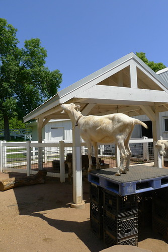 Goats eat roofs