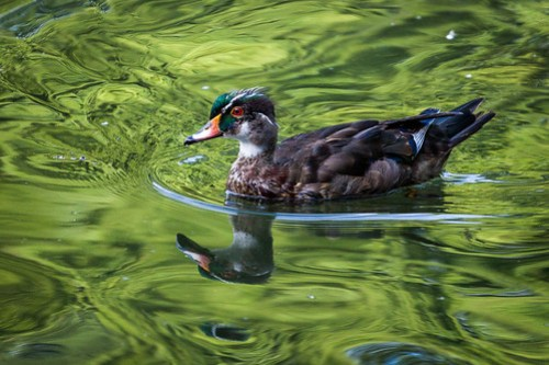 The red eyed bird on the green water