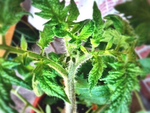tomato flower buds 2