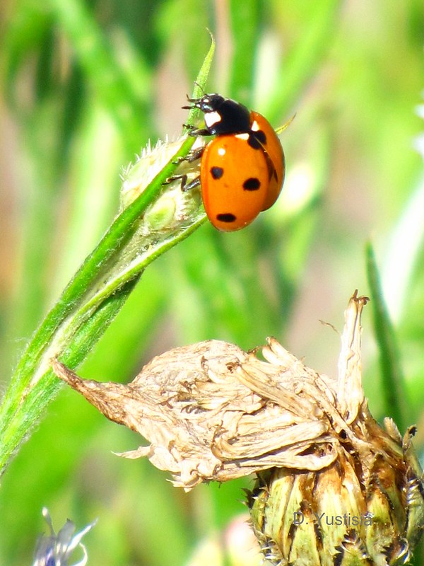 The Seven-Spotted Ladybug