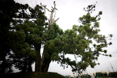 #9 The Lone Cryptomeria of Ikarugi