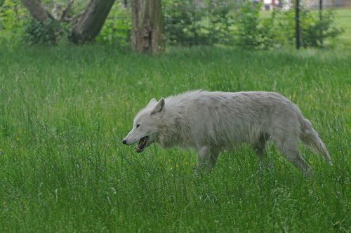 Polarwolf im Knuthenborg Safaripark