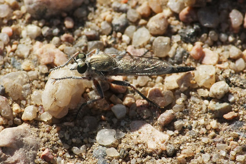 Robberfly (Family Asilidae)