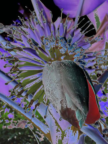 201202210330-banana-flower1-w