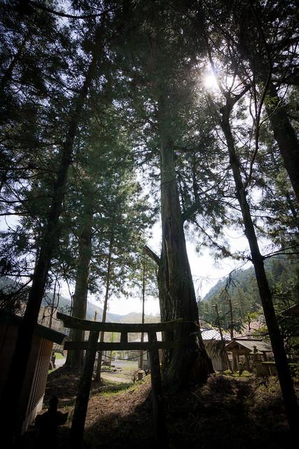 #23 The Giant Cryptomeria of Ooashi Shrine