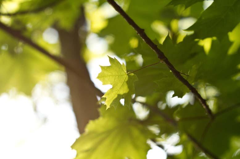 Sunlit Maple