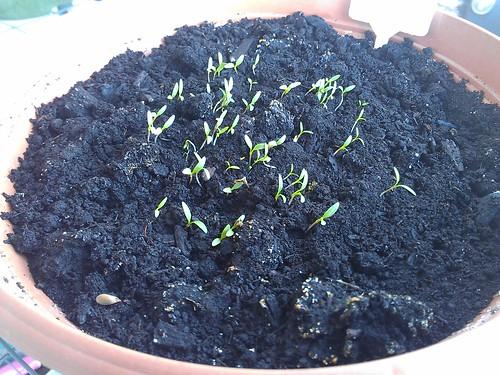 Garden Update - Parsley