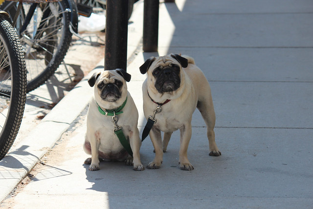 Pugs outside of Doud's grocery Store