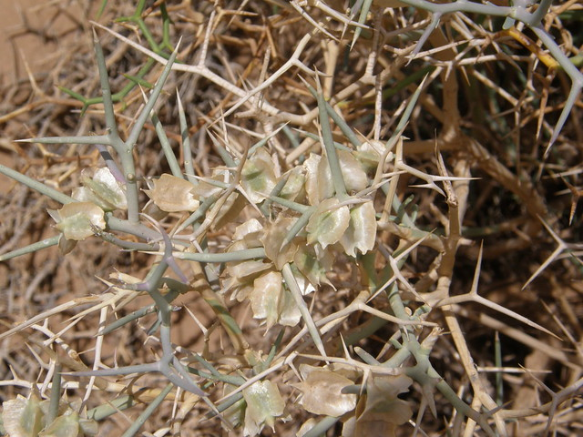 Zilla macroptera