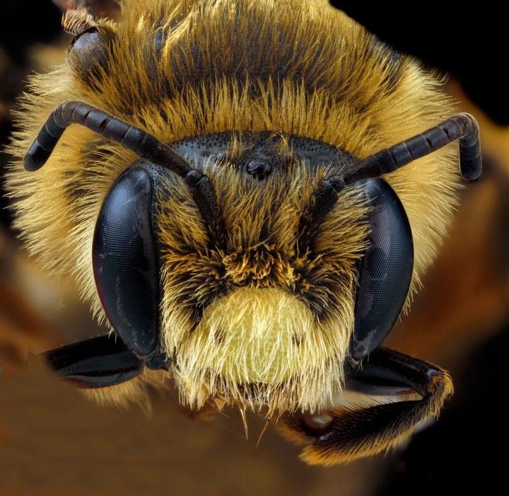 Andrena-rudbeckiae,-male,-face_2012-06-12-14.22.37-ZS-PMax