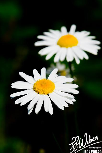Daisy 2.0 – Daily Photo (28th July 2012)