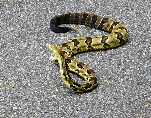 Blue Ridge Parkway Rattlesnake by waterfallshiker