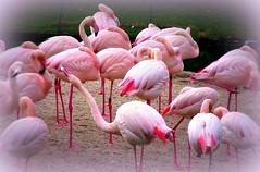 Wilhelma, Flamingos , 48-91/1307