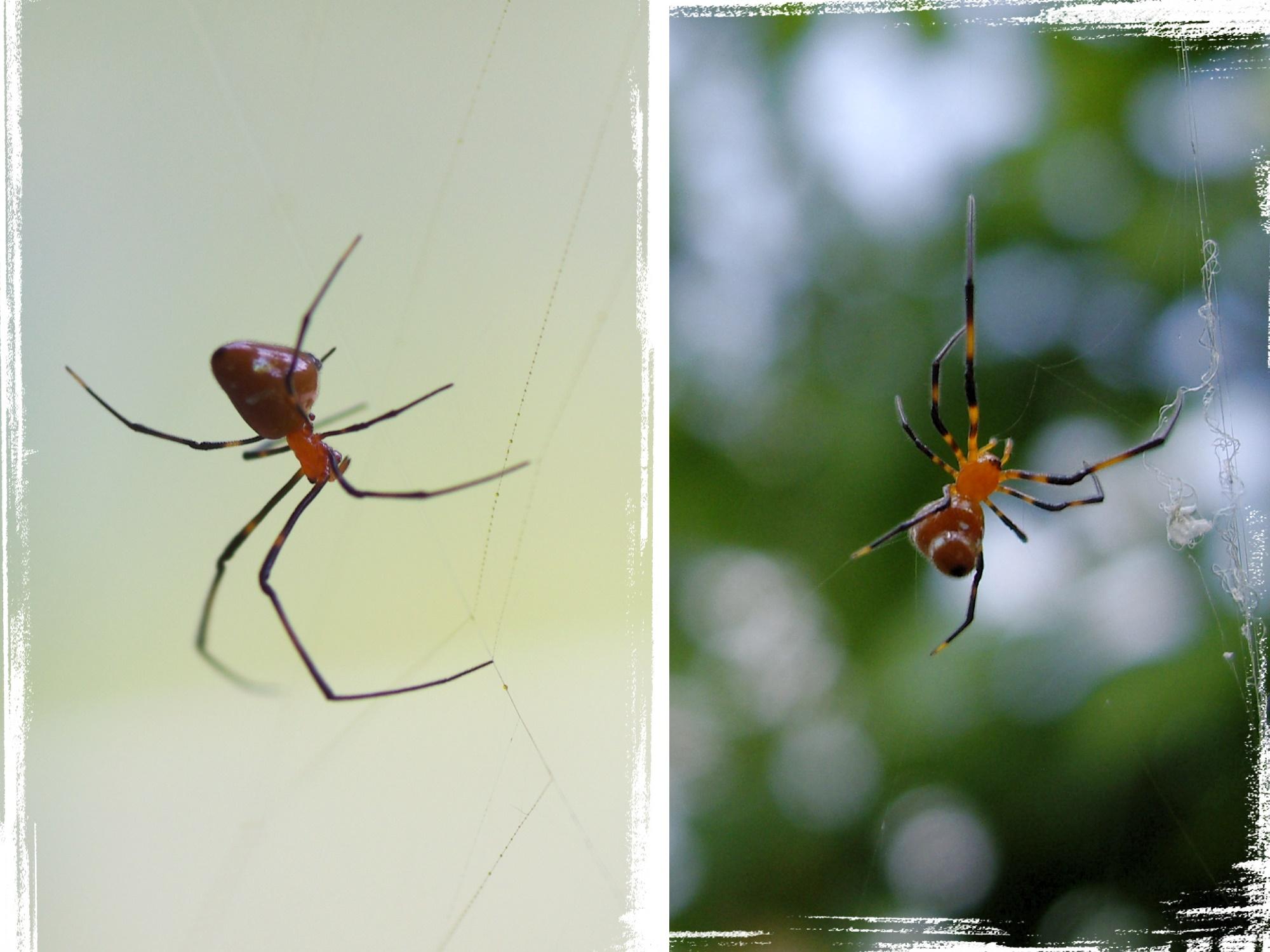 【蟲蟲的祕密】人面蜘蛛的房客 | 臺灣環境資訊協會-環境資訊中心
