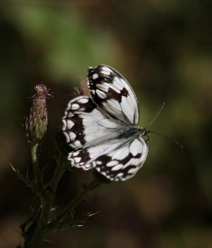 2012_07_08 RUI - Iberian Marbled White (Melanargia lachesis) 03