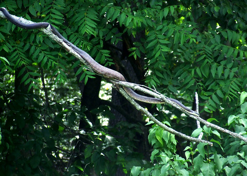 black rat snake on dead branch