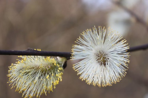 20110327_1237_pussy-willow