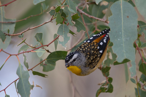 Spotted Pardalote 2012-04-29 (_MG_7043)