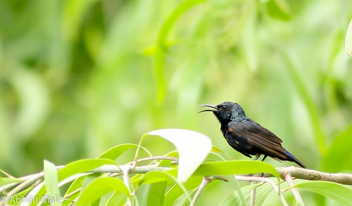 Purple Sunbird (Male)