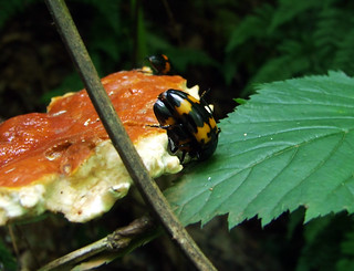 Megalodacne heros beetles feed and mate on varnish shelf fungi, found on an ancient hemlock logs