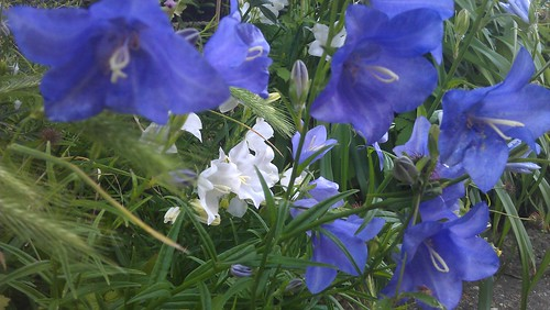 Campanula 'Persicifolia' in blue and white