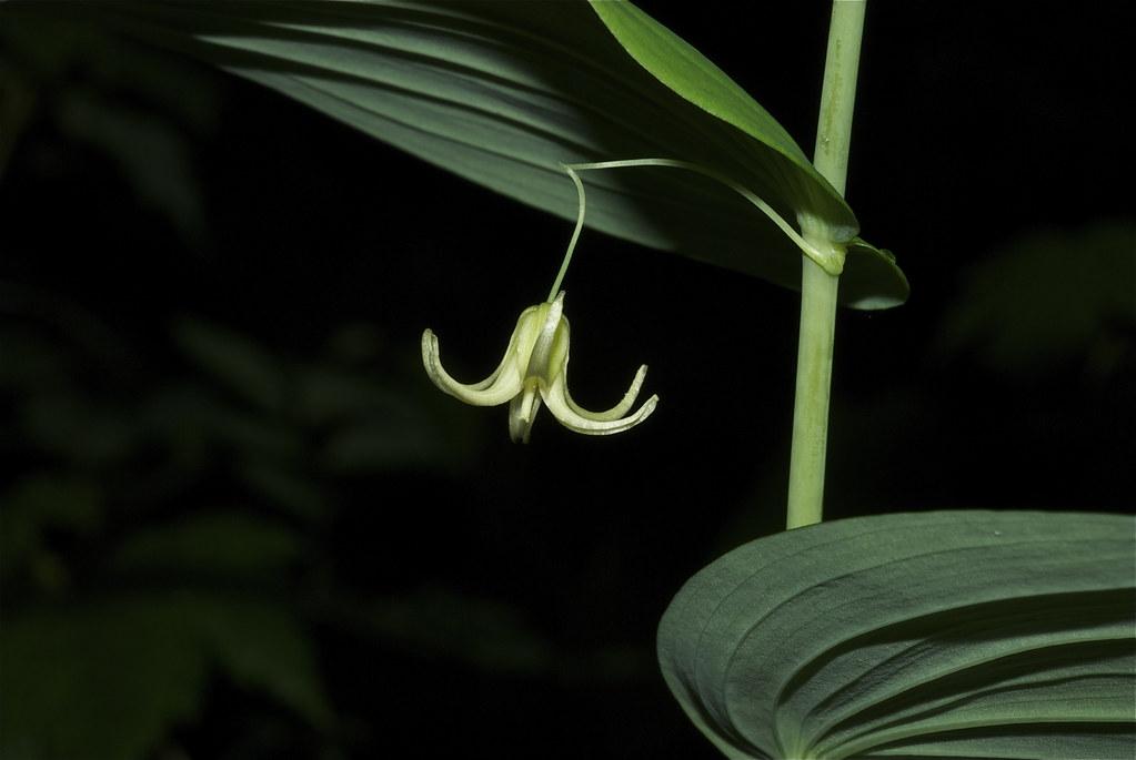 Clasp-leaf Twisted-stalk, Clasping Twisted-stalk