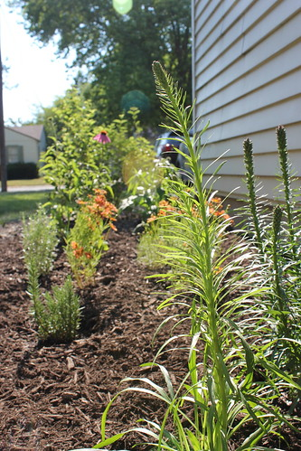 20120609. We planted the side of the house! Blazing star, correopsis, and coneflower.