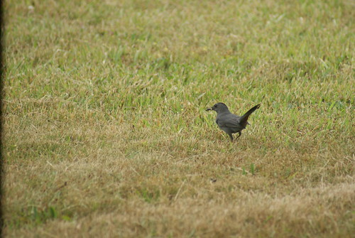 Catbird by deerhart23