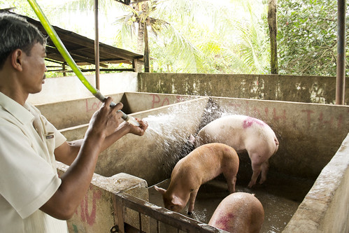 A local slaughterhouse worker cools down his pigs