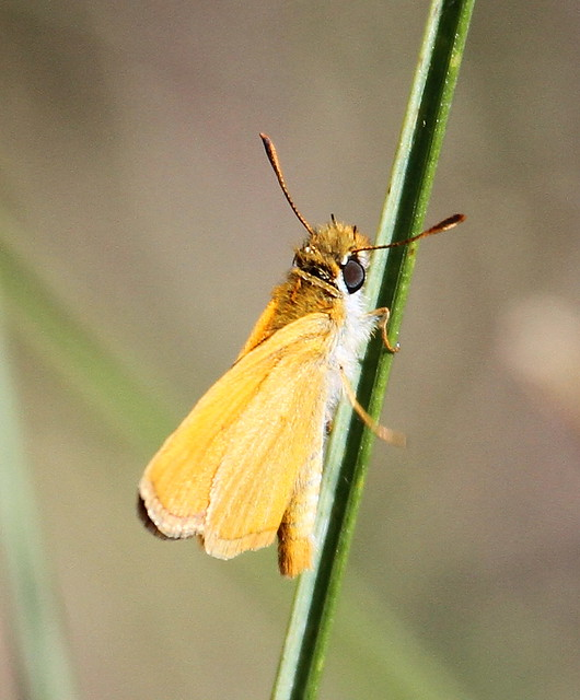 2012_06_13 VIC - Small Skipper (Thymelicus sylvestris) 01