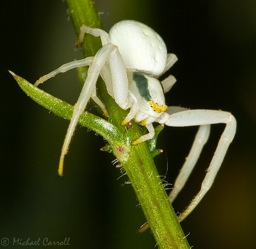 Crab Spider, Boora Parklands, Co. Offally